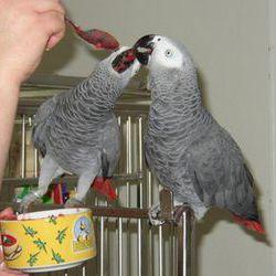 Superbe Couple de Perroquets Gris du Gabon